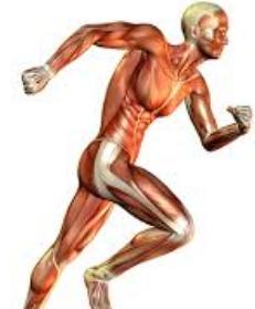 Sistem Muskuloskeletal Manusia